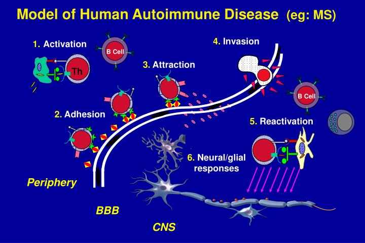 Model of Human Autoimmune Disease