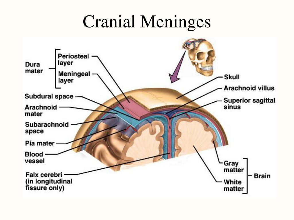 PPT - Chapter 14 The Central Nervous System PowerPoint ...