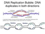 dna replication bubble dna duplicates in both directions