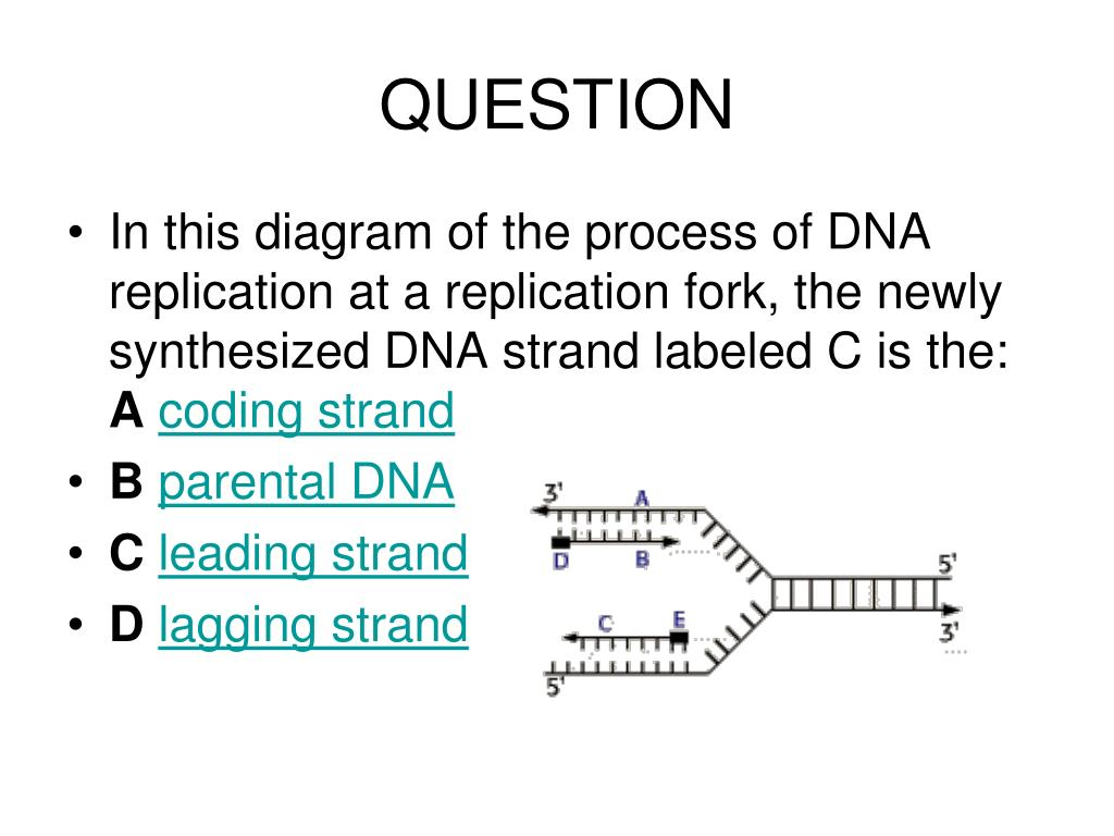 question • in this diagram of the process of dna replication at a  replication fork, the newly synthesized dna strand labeled c is the: a  coding strand • b