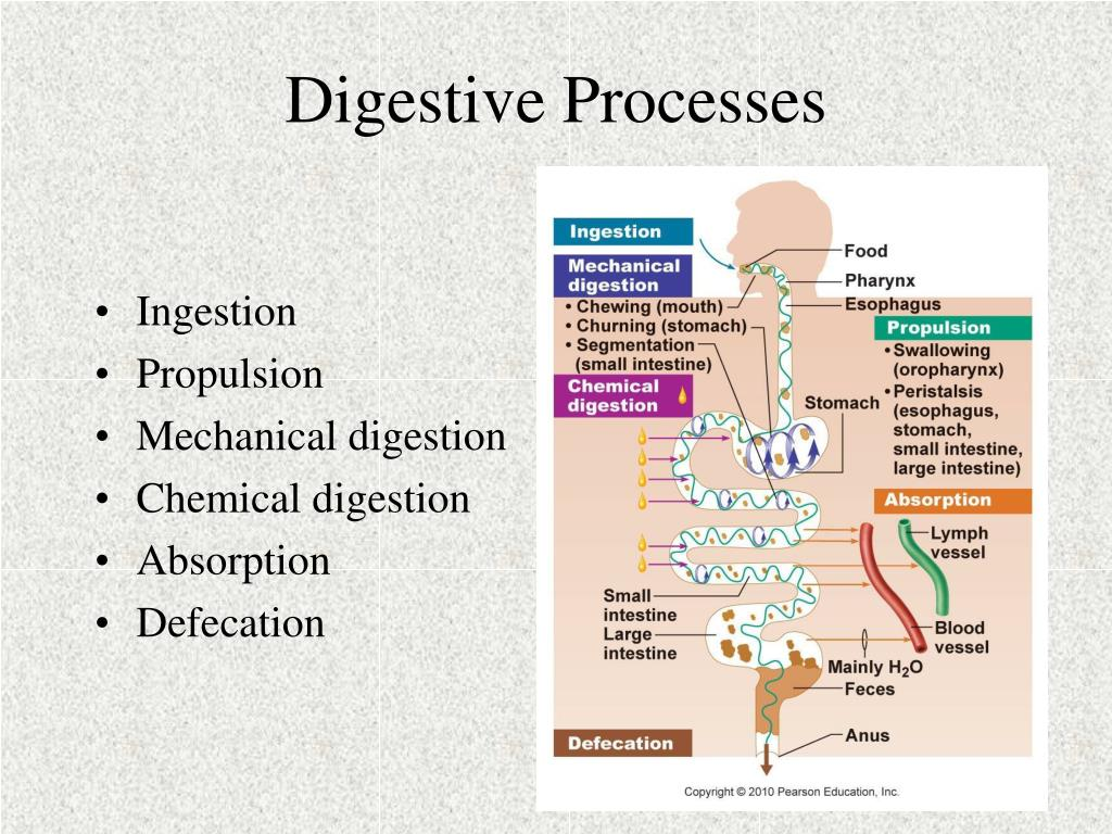 Ppt The Digestive System Powerpoint Presentation Free Download Id 1418318
