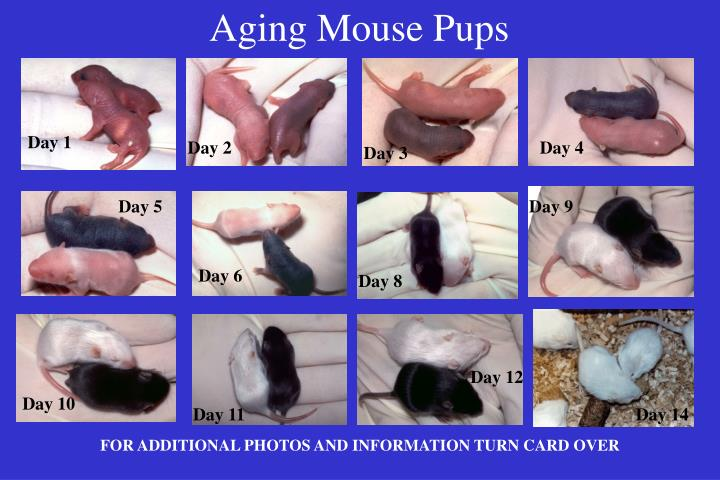 aging mouse pups n.