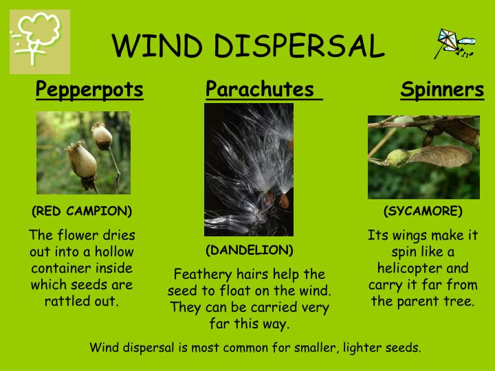 tree seed helicopter with Seed Dispersal How Does It Happen on Maple Seeds And Animals Exploit Same Trick Fly 1540 furthermore 564860073 additionally Crimson King Maple Tree Seeds furthermore Factsheet additionally Ragwort Control Removal Advice.
