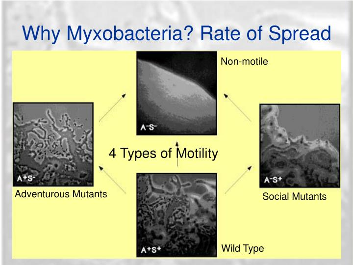Why Myxobacteria? Rate of Spread