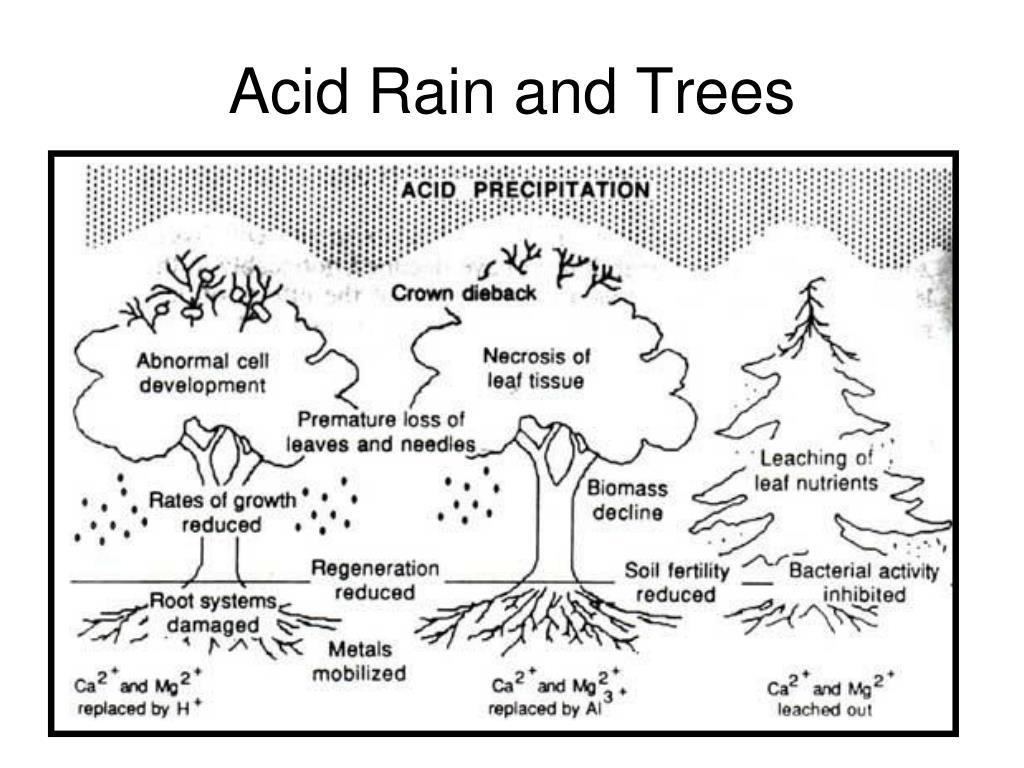 Acid Rain and Trees