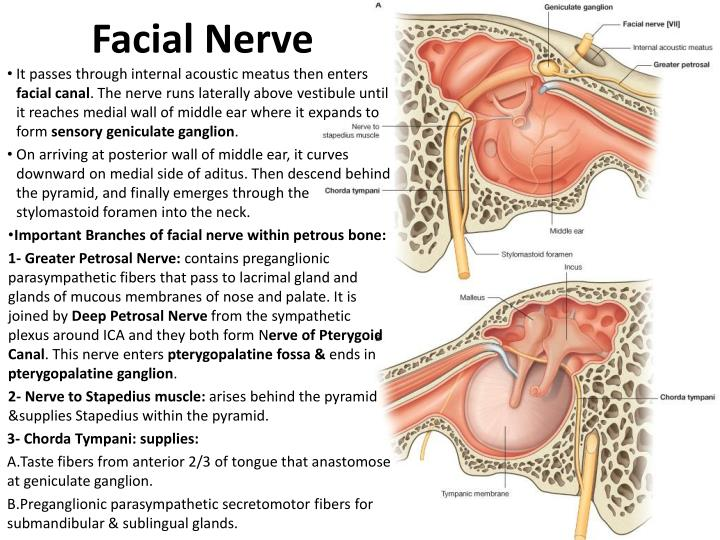 Facial nerve passes apologise