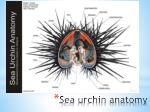 sea urchin anatomy