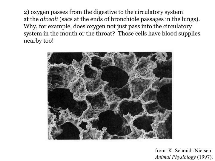 2) oxygen passes from the digestive to the circulatory system