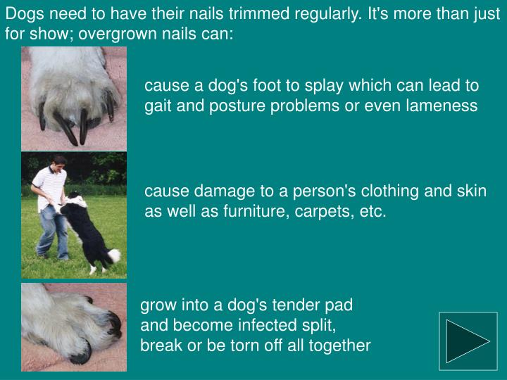 Dogs need to have their nails trimmed regularly. It's more than just for show; overgrown nails can: