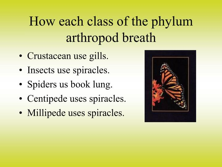 How each class of the phylum arthropod breath