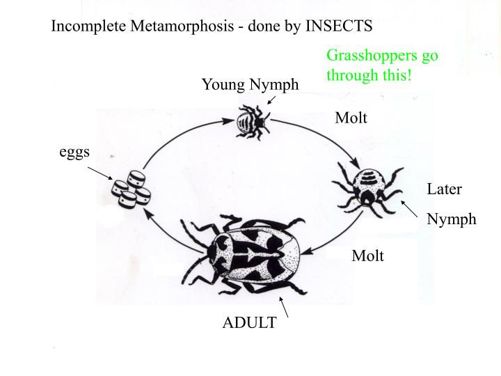 Incomplete Metamorphosis - done by INSECTS