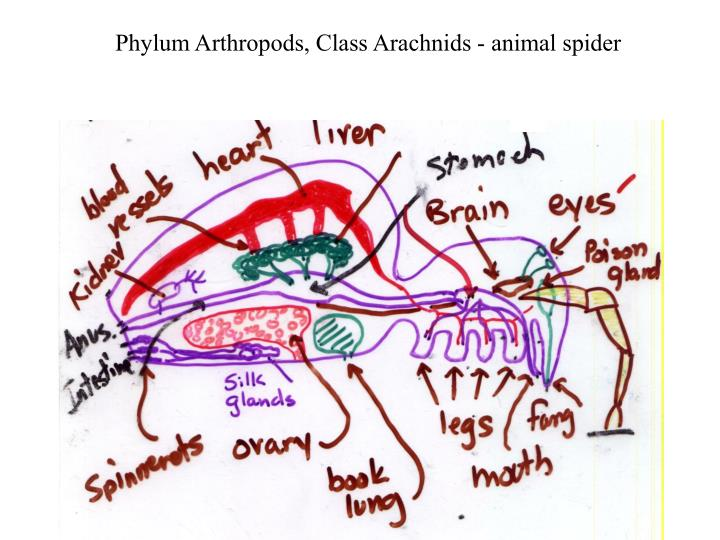 Phylum Arthropods, Class Arachnids - animal spider