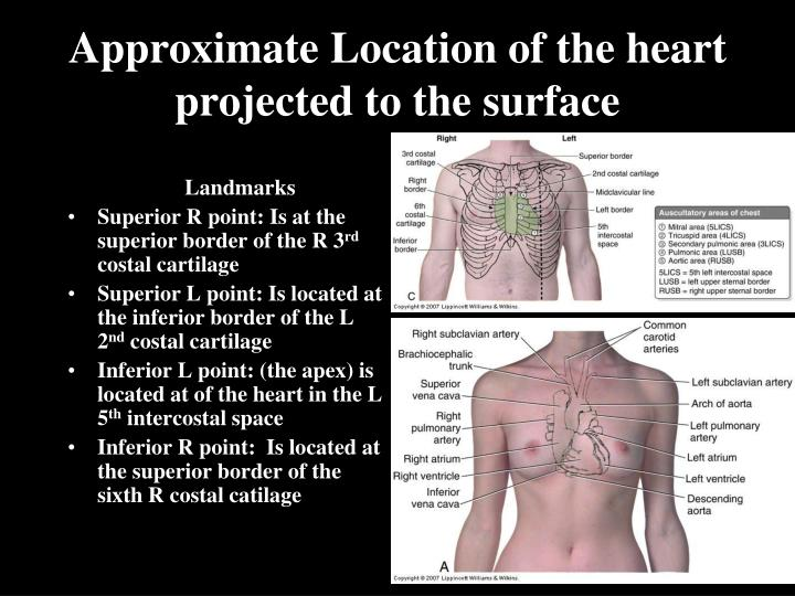 Approximate location of the heart projected to the surface