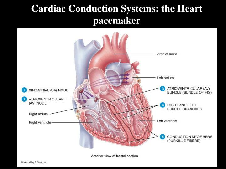 Cardiac Conduction Systems: the Heart pacemaker