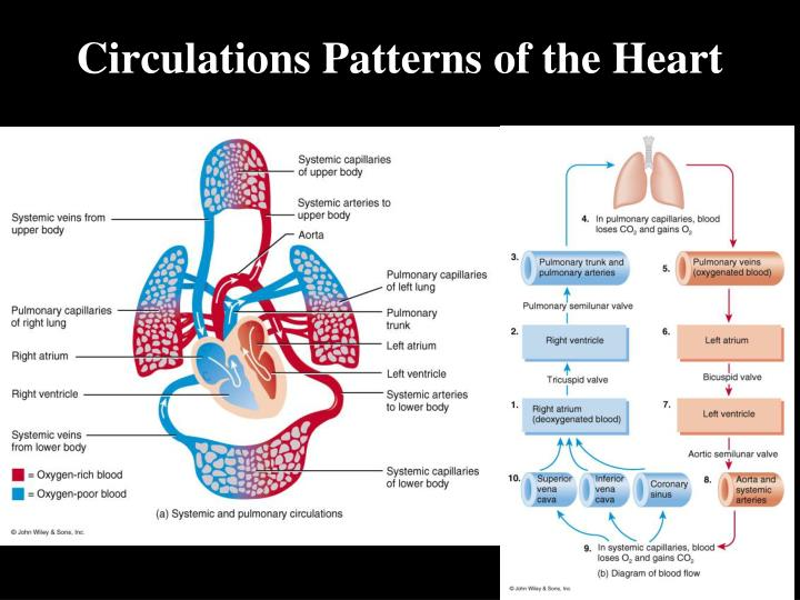Circulations Patterns of the Heart