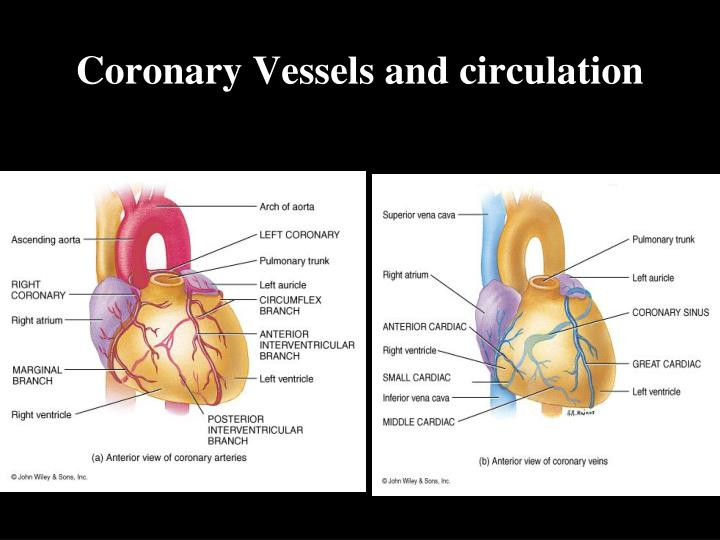 Coronary Vessels and circulation