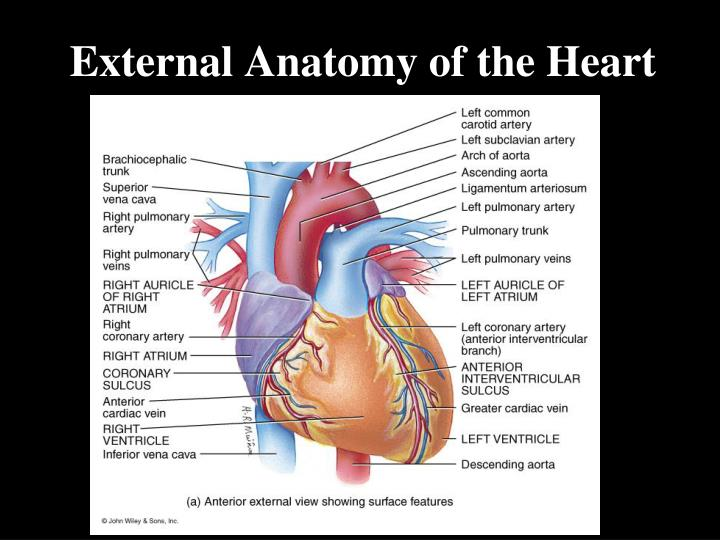 External Anatomy of the Heart