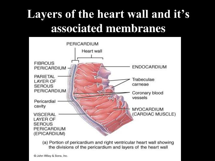 Layers of the heart wall and it's associated membranes