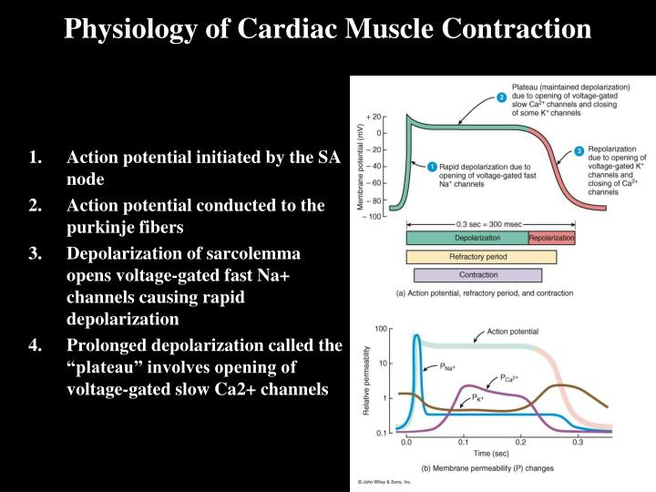 Physiology of Cardiac Muscle Contraction