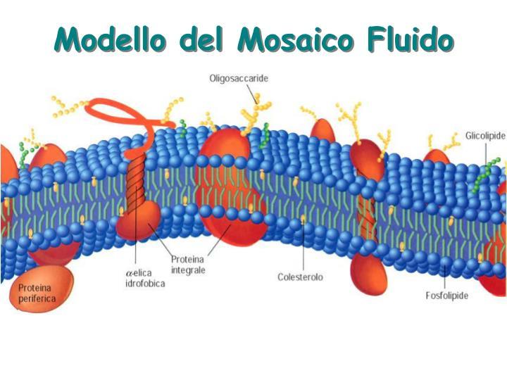 Modello del Mosaico Fluido