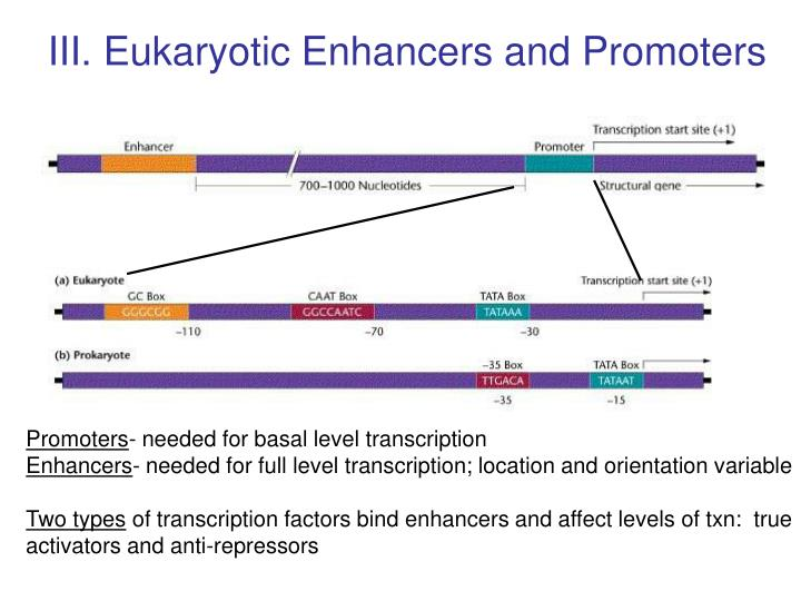 III. Eukaryotic Enhancers and Promoters
