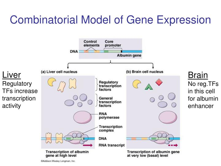 Combinatorial Model of Gene Expression