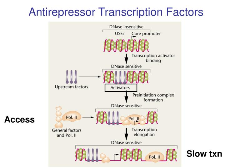 Antirepressor Transcription Factors