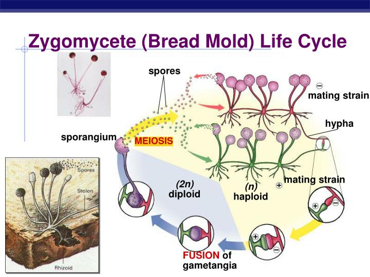 Zygomycete (Bread Mold) Life Cycle