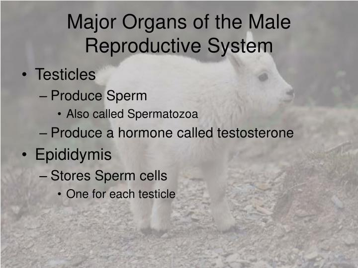 Major organs of the male reproductive system