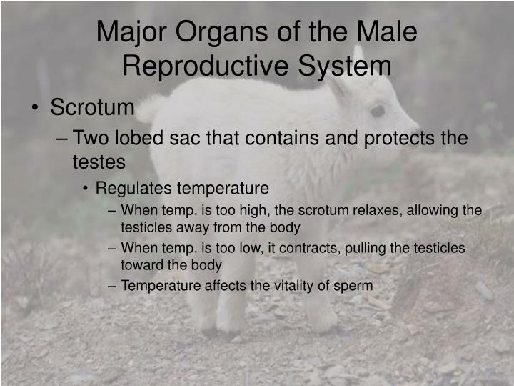 Major organs of the male reproductive system1