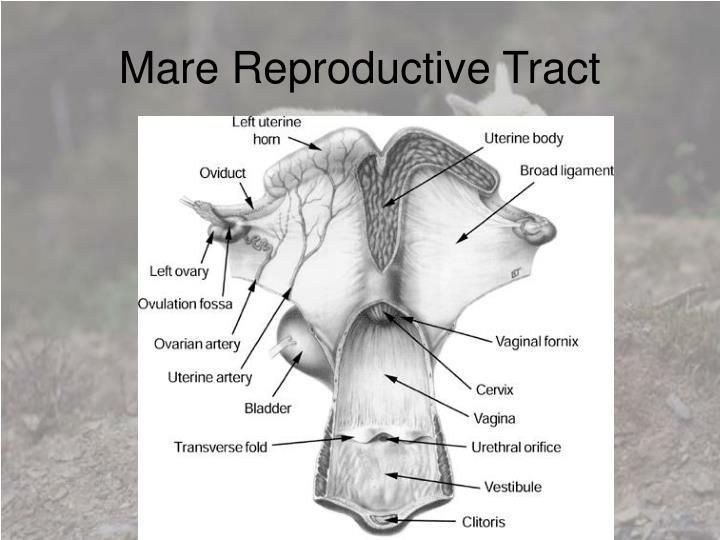 Mare Reproductive Tract