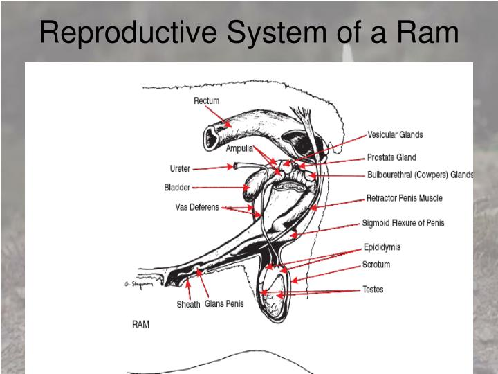 Reproductive System of a Ram