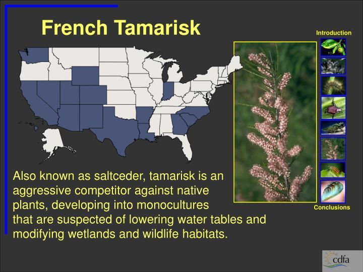 French Tamarisk