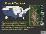 french tamarisk