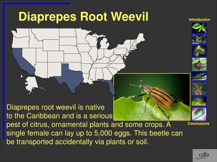 Diaprepes Root Weevil