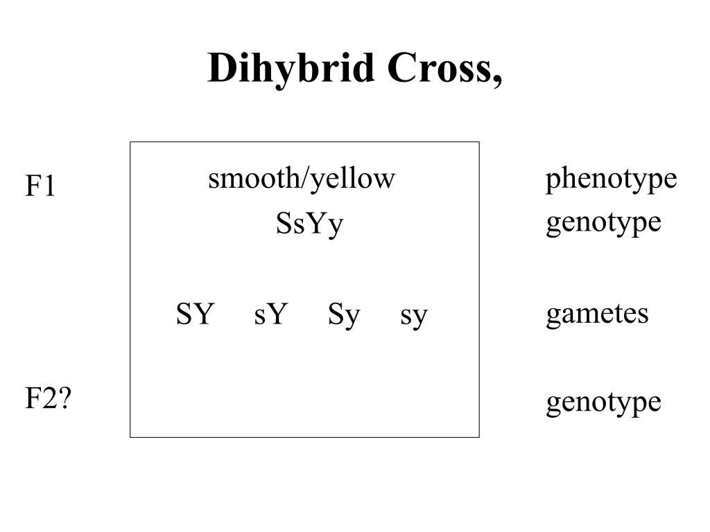 Dihybrid Cross,