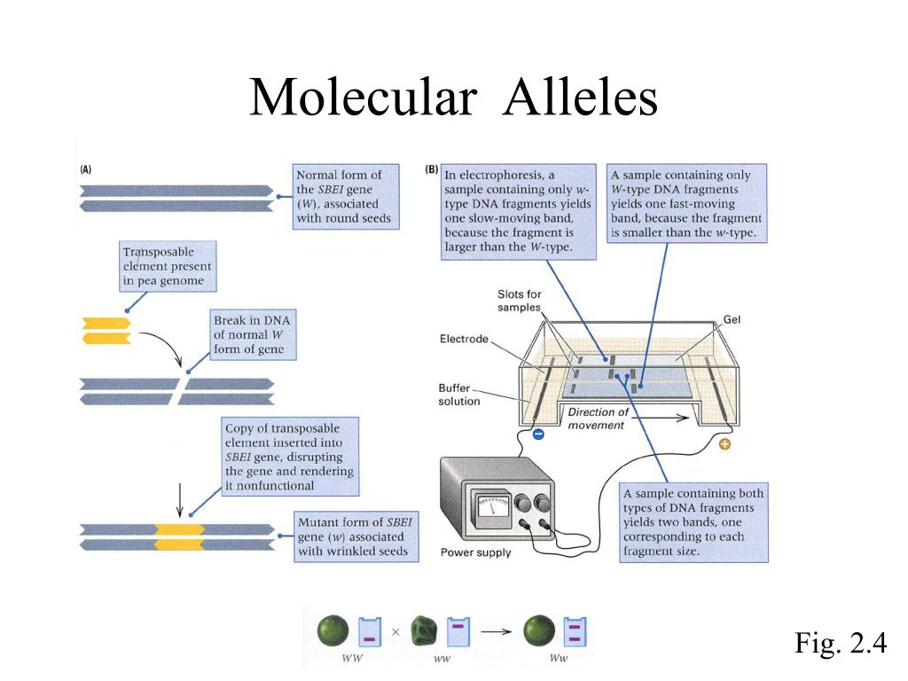 Molecular  Alleles