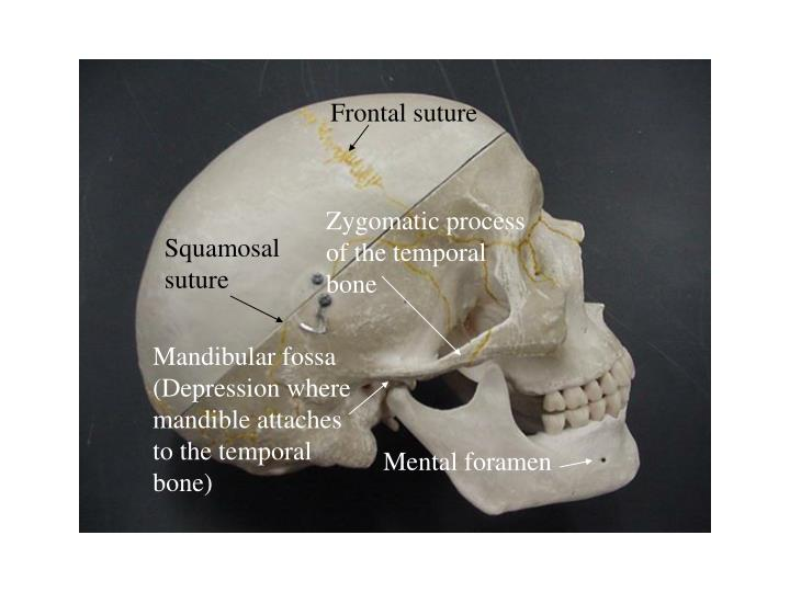 Ppt 1 Frontal Bone 2 Parietal Bones Paired 3 Occipital Bone 4