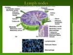 lymph nodes13