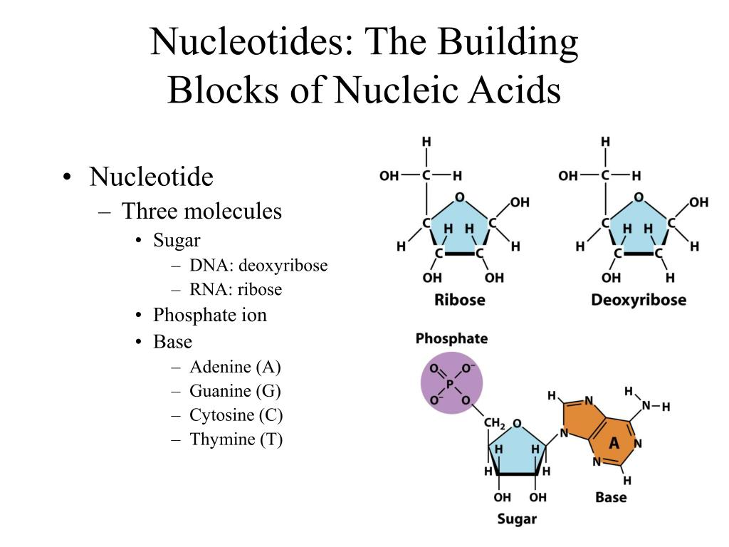 Nucleotides: The Building