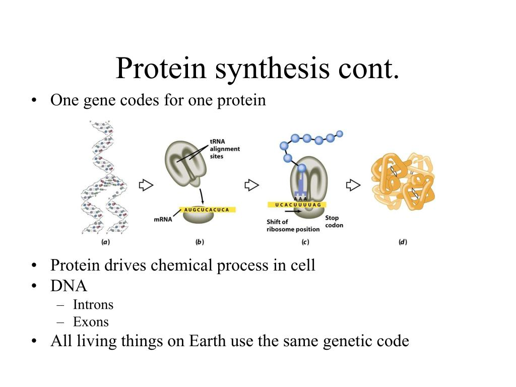 Protein synthesis cont.