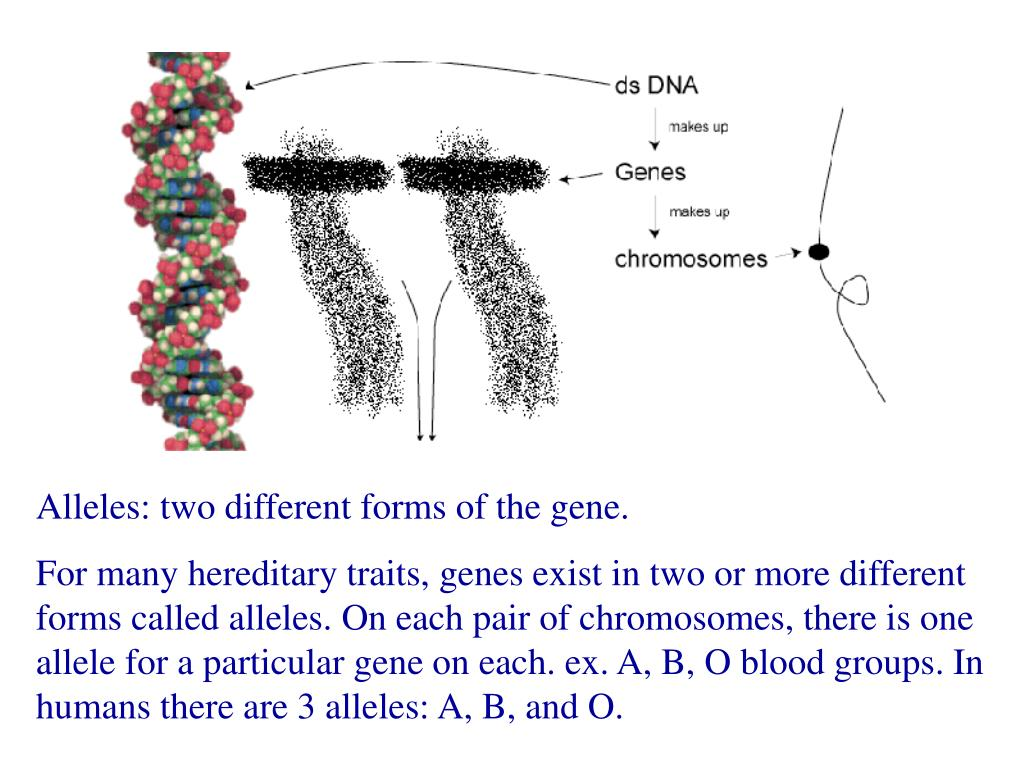 Alleles: two different forms of the gene.