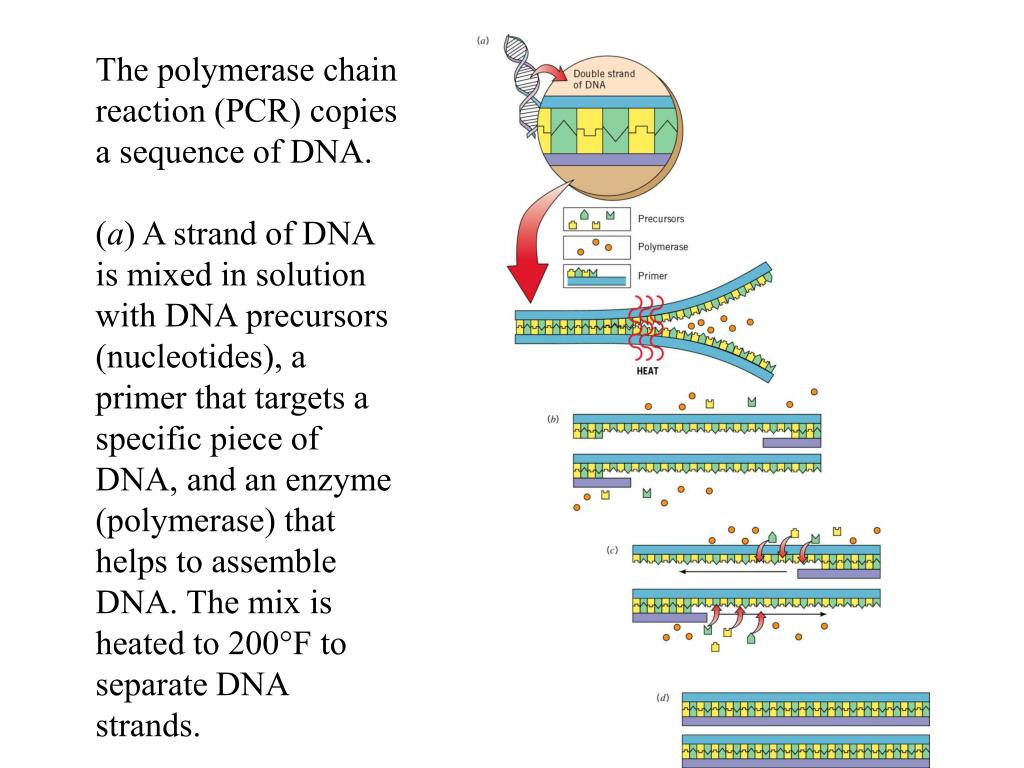The polymerase chain reaction (PCR) copies a sequence of DNA.