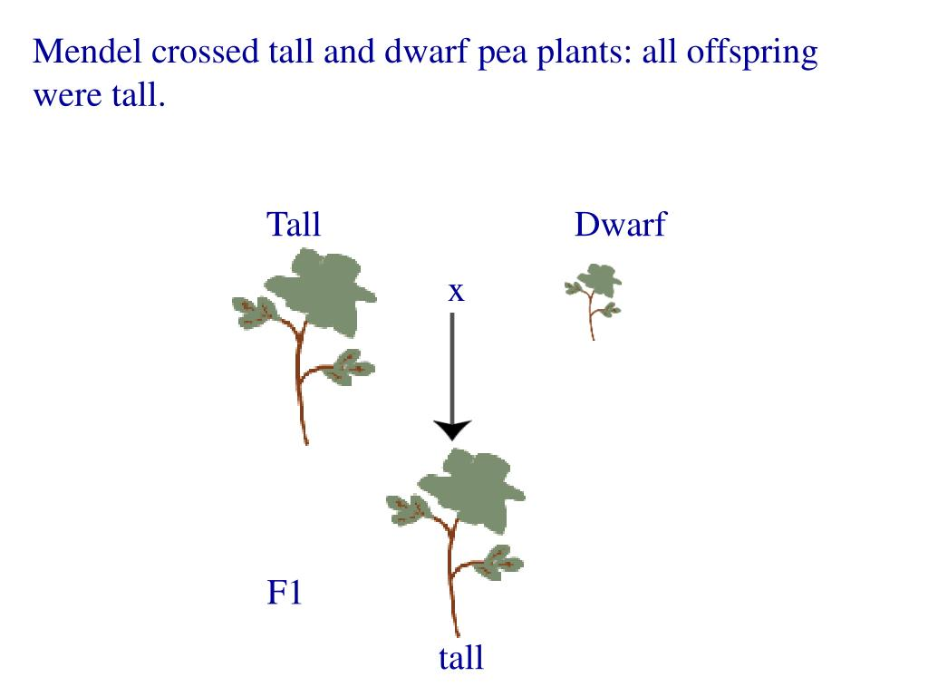 Mendel crossed tall and dwarf pea plants: all offspring were tall.