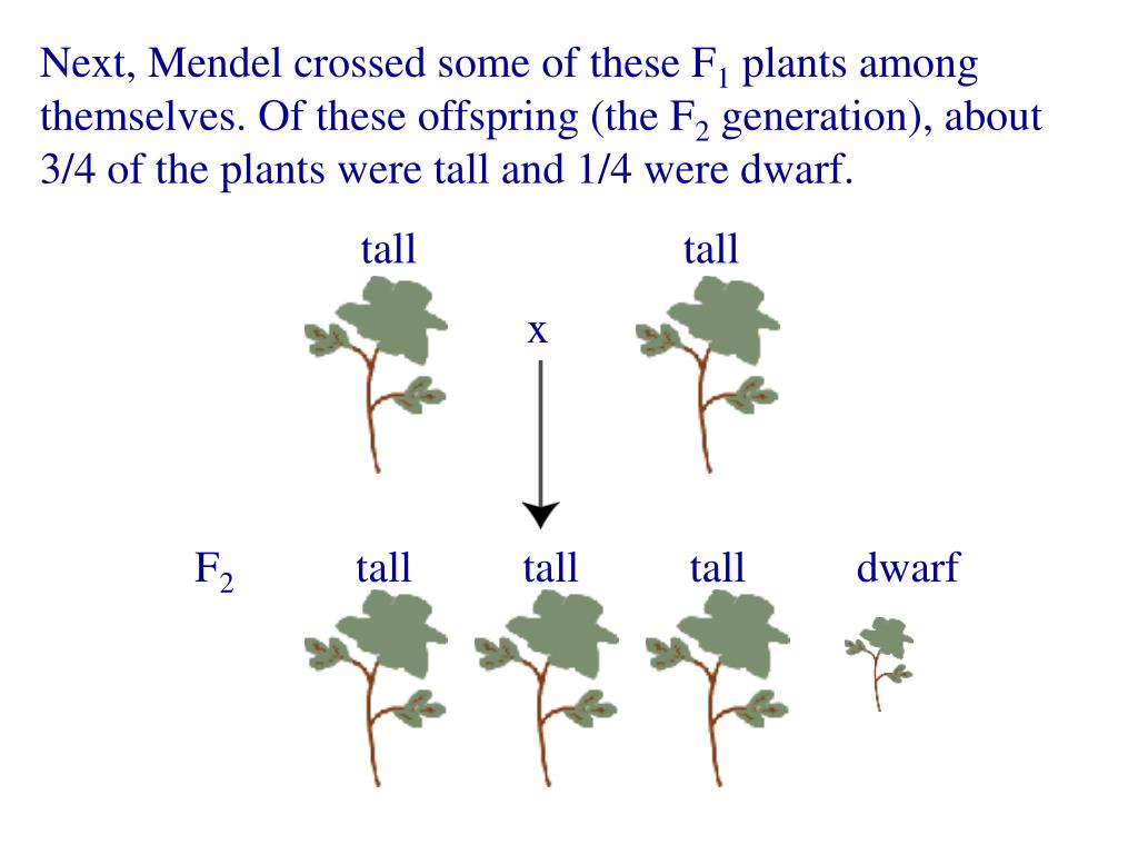 Next, Mendel crossed some of these F