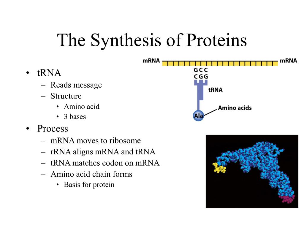 The Synthesis of Proteins