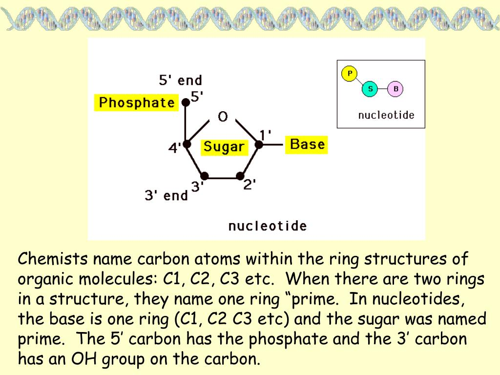 """Chemists name carbon atoms within the ring structures of organic molecules: C1, C2, C3 etc.  When there are two rings in a structure, they name one ring """"prime.  In nucleotides, the base is one ring (C1, C2 C3 etc) and the sugar was named prime.  The 5' carbon has the phosphate and the 3' carbon has an OH group on the carbon."""