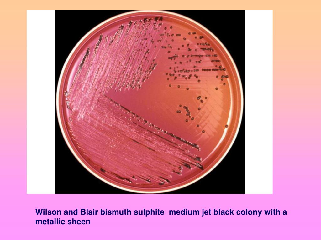 Wilson and Blair bismuth sulphite  medium jet black colony with a metallic sheen