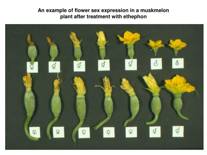 An example of flower sex expression in a muskmelon