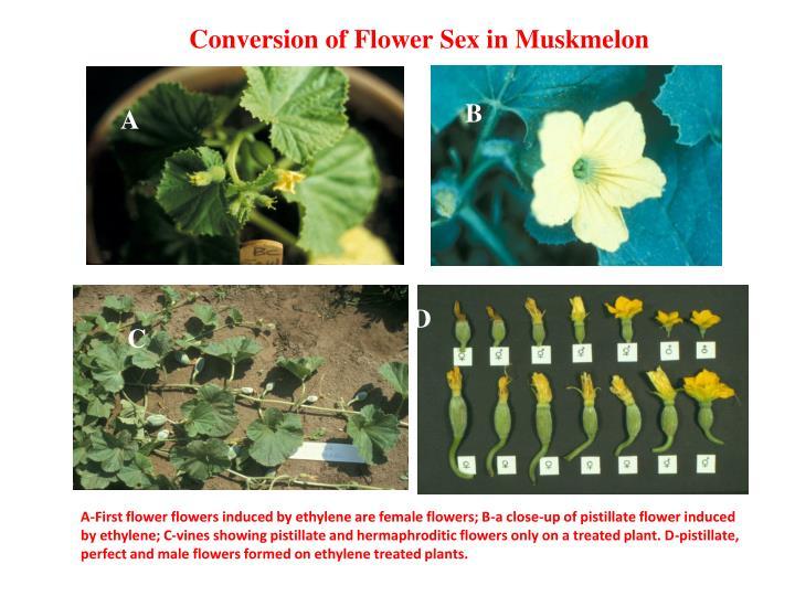 Conversion of Flower Sex in Muskmelon